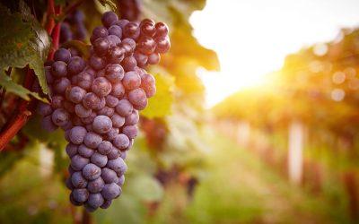 Manfaat Buah Anggur yang Kaya Akan Antioksidan