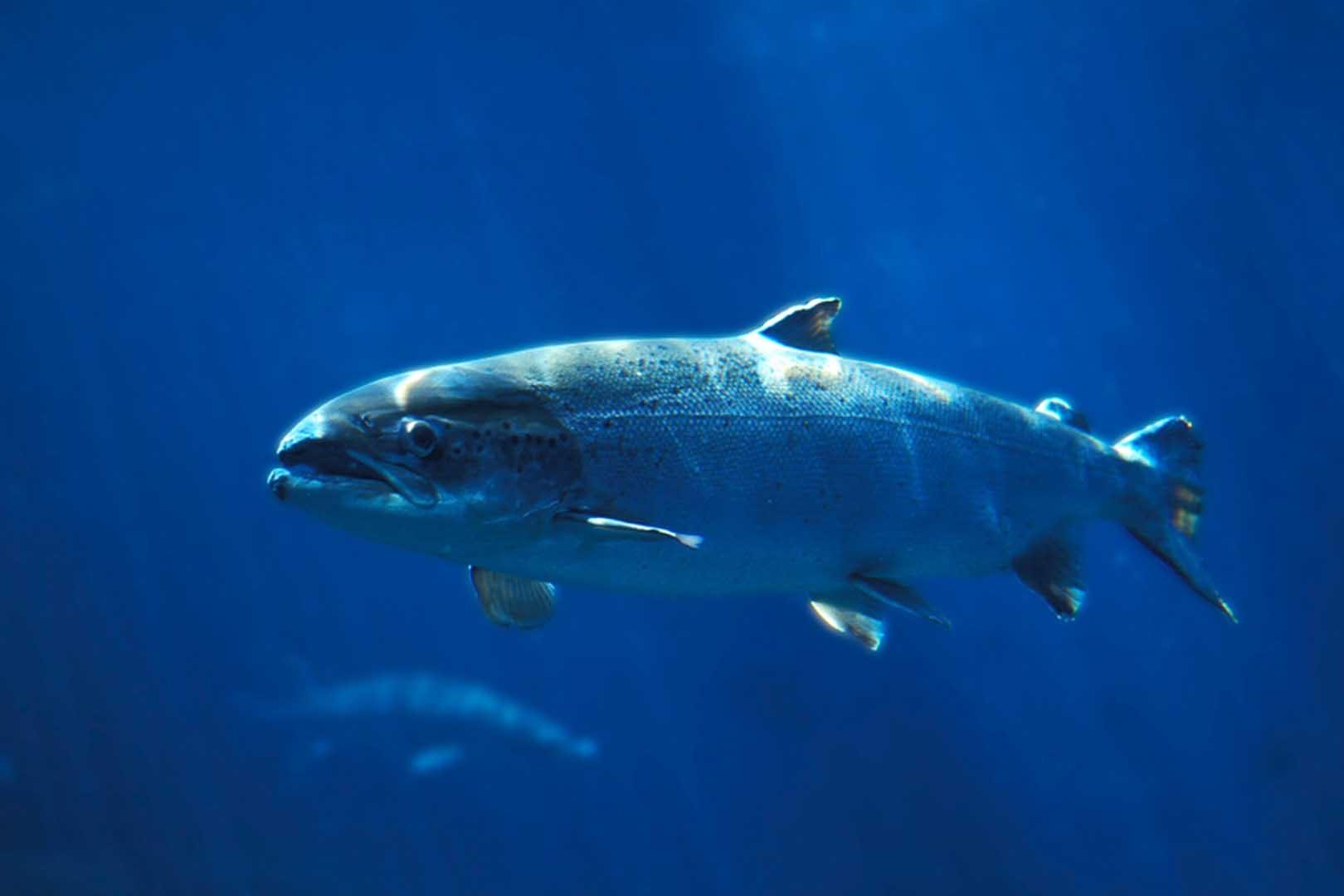 manfaat ikan salmon, manfaat ikan salmon untuk ibu hamil, manfaat ikan salmon untuk anak, manfaat minyak ikan salmon untuk ibu hamil