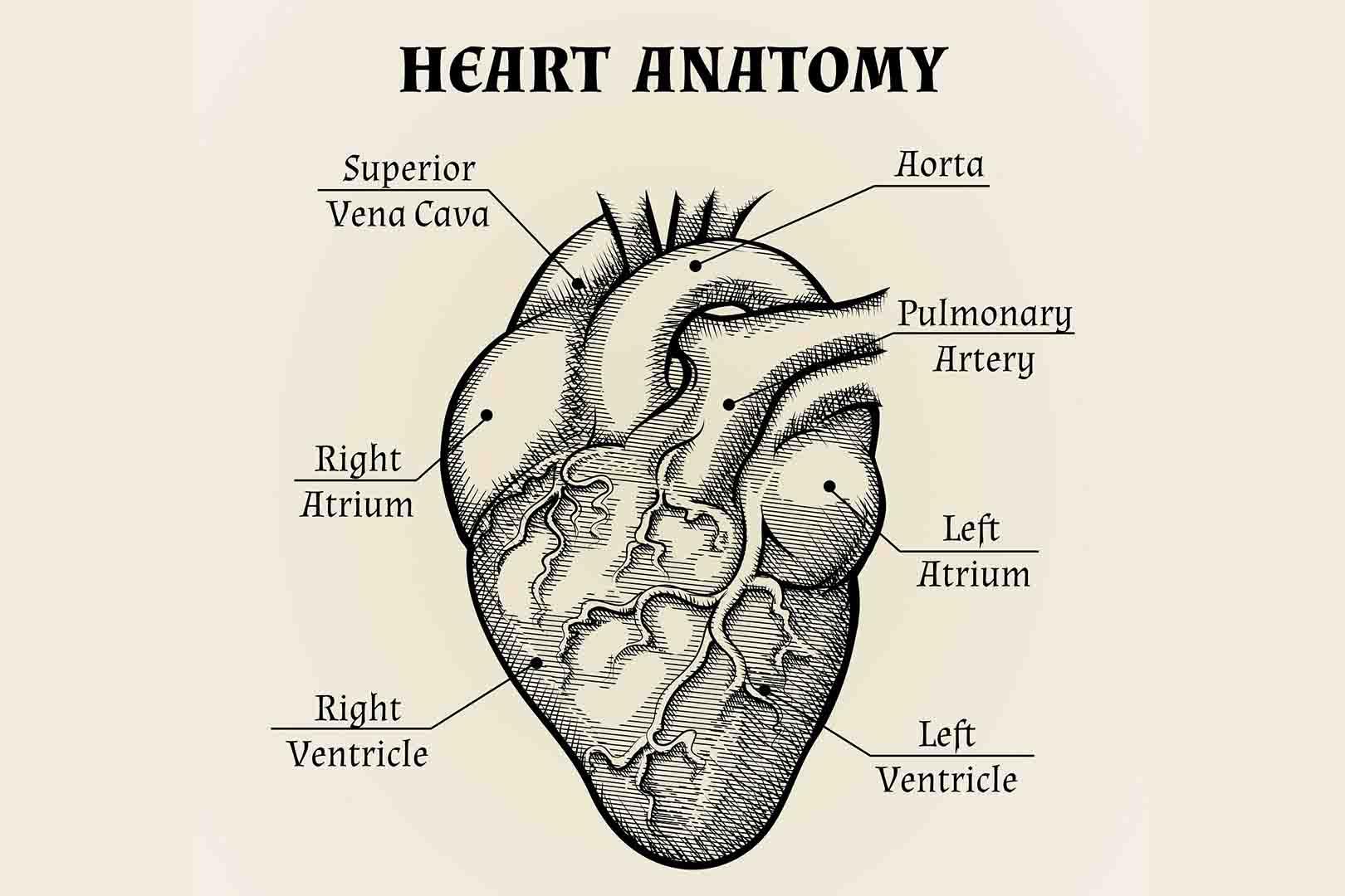 Kenali Bagian-bagian Jantung Beserta Fungsinya